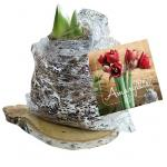 Baltus Amaryllis op houten plank silver bloembollen per 1 stuks