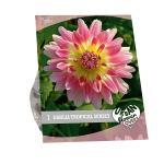 Baltus Urban Flowers Dahlia Tropical Sunset bloembol per 1