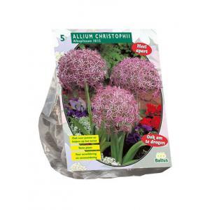 Baltus Allium Albopilosum Christophii bloembollen per 5 stuks
