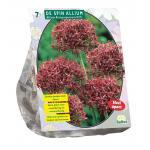 Baltus Allium Atropurpureum bloembollen per 7 stuks