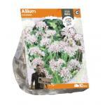 Baltus Allium Cameleon bloembollen per 10 stuks