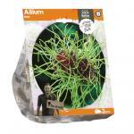 Baltus Allium Hair bloembollen per 3 stuks