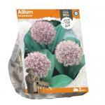 Baltus Allium Karatviense bloembollen per 3 stuks