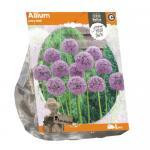 Baltus Allium Lucy Ball bloembollen per 1 stuks