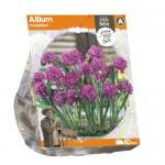 Baltus Allium Oreophilum bloembollen per 10 stuks