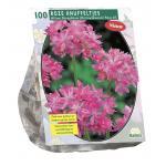 Baltus Allium Oreophilum bloembollen per 100 stuks