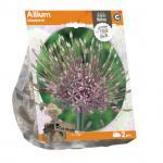 Baltus Allium Schubertii bloembollen per 2 stuks