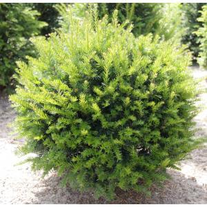Taxus Baccata bol 75 cm