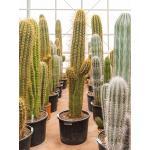 Trichocereus terschechii cactus top vertakt L kamerplant