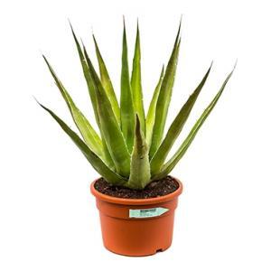 Agave triangularis S kamerplant