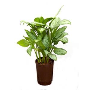 Aglaonema christina S hydrocultuur plant