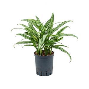 Aglaonema cutlass S hydrocultuur plant