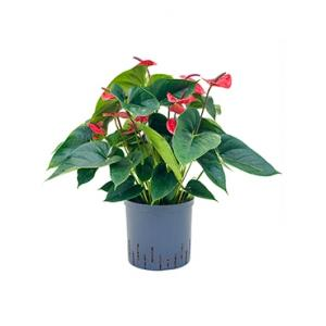 Anthurium dark red hydrocultuur plant