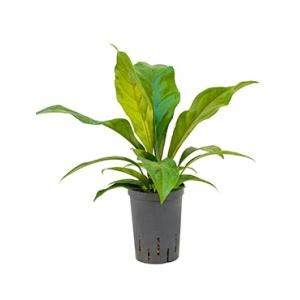 Anthurium jungle bush XS hydrocultuur plant