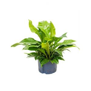 Anthurium jungle bush XL hydrocultuur plant