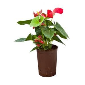 Anthurium sierra hydrocultuur plant