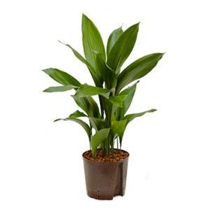 Aspidistra elatior L hydrocultuur plant