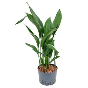 Aspidistra elatior XL hydrocultuur plant