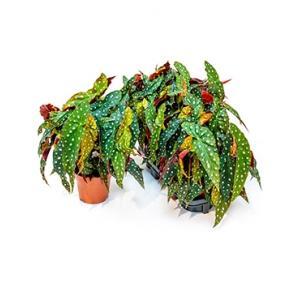 Begonia maculata stippenplant M kamerplant