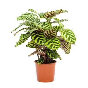 Calathea makoyana kamerplant