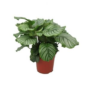 Calathea orbifolia kamerplant