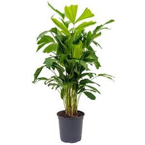 Caryota Palm mitis M kamerplant