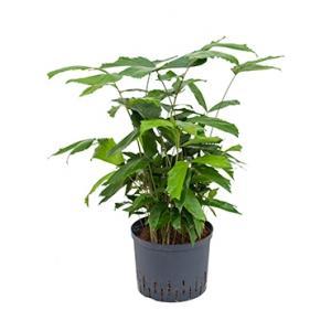 Caryota vissenstaartpalm mitis hydrocultuur plant