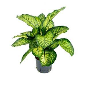 Dieffenbachia maroba hydrocultuur plant