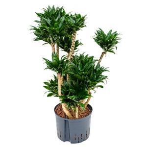 Dracaena compacta XXL hydrocultuur plant