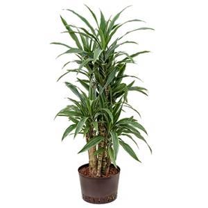 Dracaena deremensis ocana hydrocultuur plant