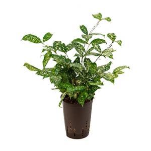 Dracaena godseffiana hydrocultuur plant