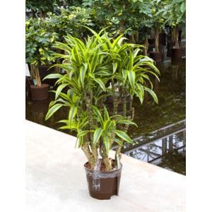 Dracaena lemon lime mavila hydrocultuur plant