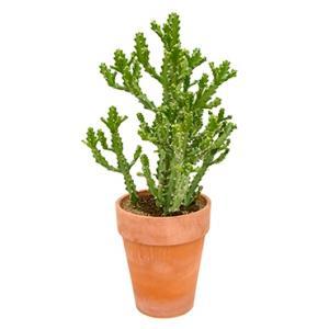 Euphorbia cactus mayuranathanii XXL kamerplant