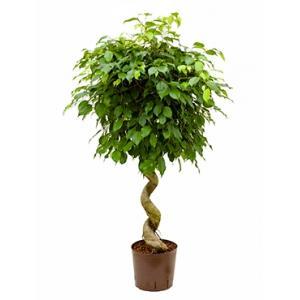 Ficus benjamina spiral hydrocultuur plant