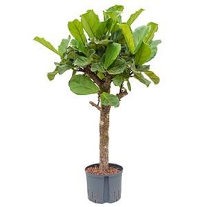 Ficus lyrata stam L hydrocultuur plant