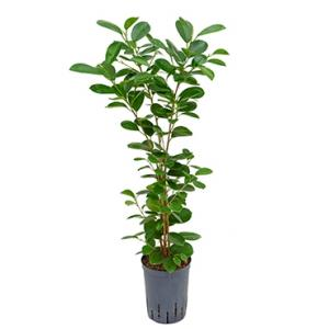 Ficus moclame 1pp hydrocultuur plant