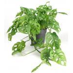 Monstera obliqua XXS gatenplant kamerplant