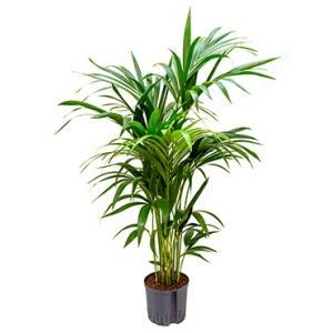 Kentia palm forsteriana brisbane hydrocultuur plant