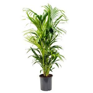 Kentia Palm howea forsteriana 8pp kamerplant