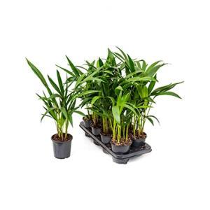 Kentia Palm forsteriana S Kamerplant