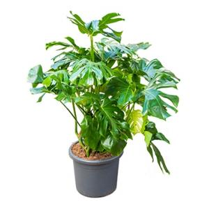Monstera deliciosa L gatenplant kamerplant