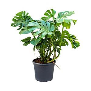 Monstera deliciosa S gatenplant kamerplant