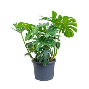 Monstera deliciosa M gatenplant kamerplant