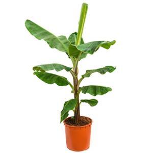 Bananenplant musa dwarf cavendish XL kamerplant