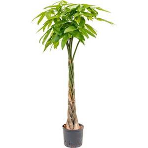 Pachira aquatica 140 Geldboom hydrocultuur plant