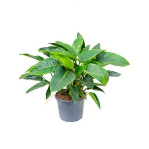 Philodendron green congo kamerplant