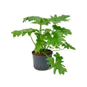Philodendron selloum M hydrocultuur plant