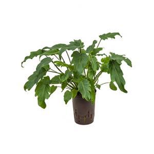 Philodendron xanadu S hydrocultuur plant