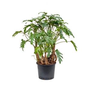 Philodendron xanadu XL hydrocultuur plant