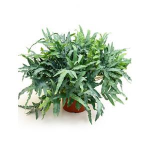 Phlebodium blue star zinkvaren kamerplant